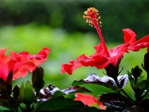 Red, hibiscus