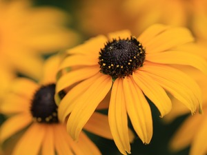 Yellow Honda, Rudbeckia, rapprochement, Blossoming
