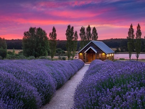 trees, Path, west, house, lavender, viewes, sun