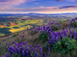 Flowers, lupine, field, Houses, The Hills