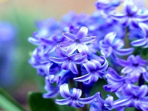 Colourfull Flowers, blue, hyacinth