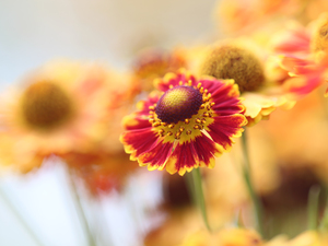 blurry background, Helenium Hybridum, Colourfull Flowers