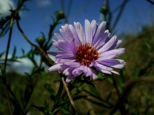 Aster, inflorescence