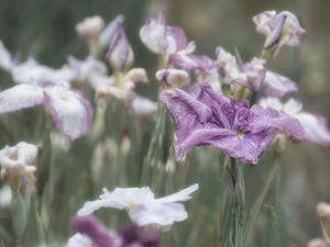 blurry background, Flowers, Irises