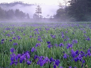 Meadow, Blue, Irises, Fog