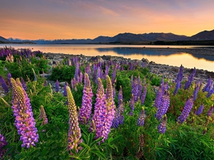 lupine, New Zeland, Stones, The Hills, Great Sunsets, Tekapo Lake
