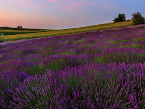 field, trees, viewes, lavender
