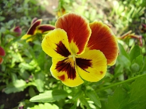 color, stems, Leaf, pansy