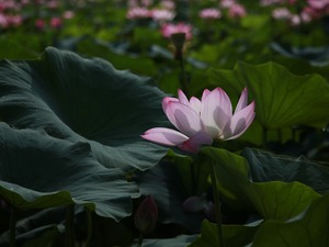 Leaf, ligh, shadow, sun, luminosity, lotus, Colourfull Flowers, flash