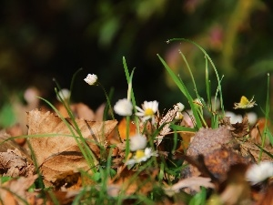 Leaf, droplets, grass, dry, daisies