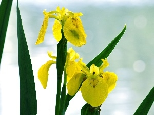 Leaf, Yellow, iris