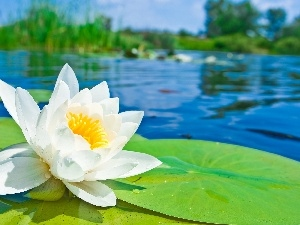 White, water, Leaf, Lily