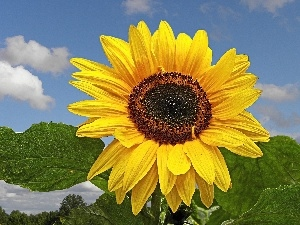 Sky, green ones, leaves, Sunflower