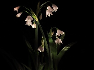 black background, Flowers, Leucojum