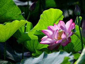 ligh, sun, Leaf, flash, bud, lotus, Colourfull Flowers, luminosity