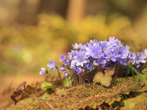 Liverworts, Flowers, cluster, lilac