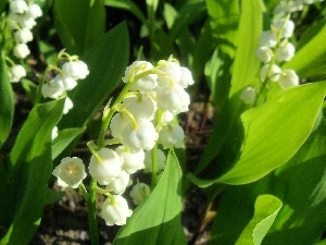Beauty, lily of the Valley
