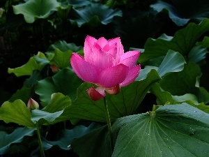 Leaf, Colourfull Flowers, lotus