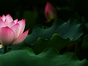 Flower. Lotus. Leaves