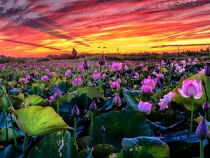 clouds, Great Sunsets, lotuses, Sky, Flowers