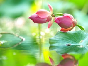 Flowers, Leaf, water, lotuses