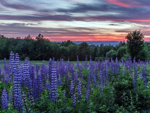viewes, Great Sunsets, lupine, trees, Meadow