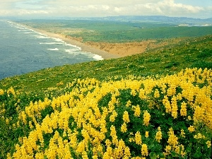 sea, Yellow, lupine, Coast