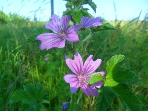 mallow, purple, Flowers