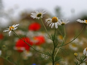 chamomile, Flowers, Meadow, White
