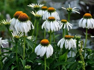 Meadow, Flowers, echinacea