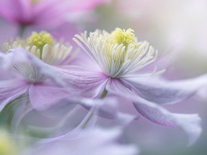 Clematis Montana, pale pink, Flowers