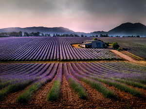 Barn, Mountains, lavender, house, Field