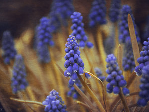 Graphic Effect, Flowers, Muscari