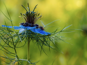 blue, Nigella, insects, Colourfull Flowers