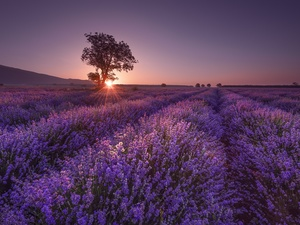 Field, trees, rays of the Sun, lavender