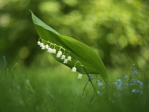 Forget, Flowers, lily of the Valley