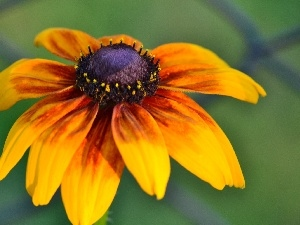 Rudbeckia, Orange