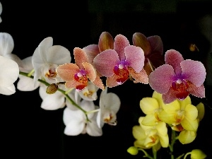 Coloured, orchid