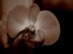 sepia, Colourfull Flowers, orchid
