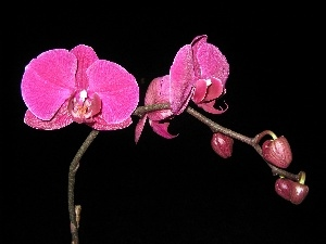 Pink, orchid