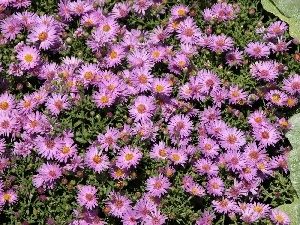 Flowers, Aster amellus, ornamental