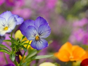 color, pansies