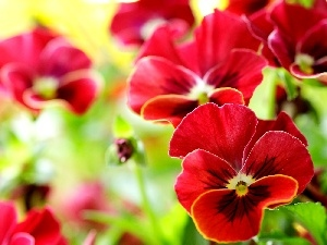 Red, pansies