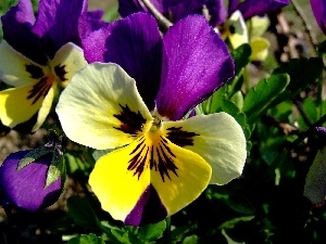 color, pansy