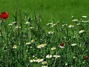 papavers, grass, chamomile
