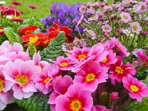 Park, primrose, color, Flowers, flowerbed