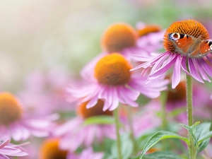 Flowers, butterfly, Peacock, echinacea