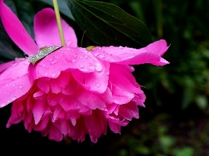 drops, Colourfull Flowers, peony
