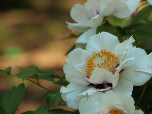 Colourfull Flowers, White, peony