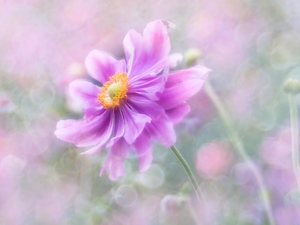 anemone, Colourfull Flowers, Pink